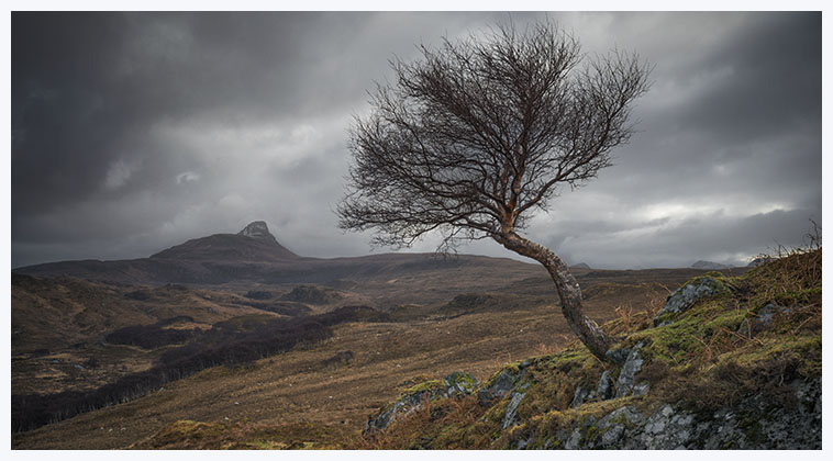 Aird tree Inverpolly